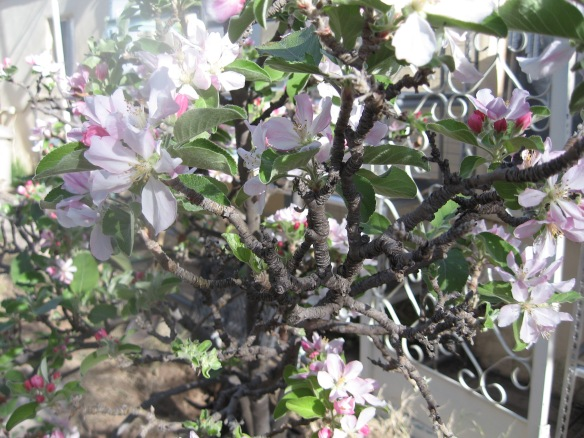 Apple Tree in full bloom, and full of bees